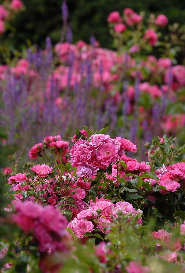 17 Best Images About Flower Carpet Rose Colors On