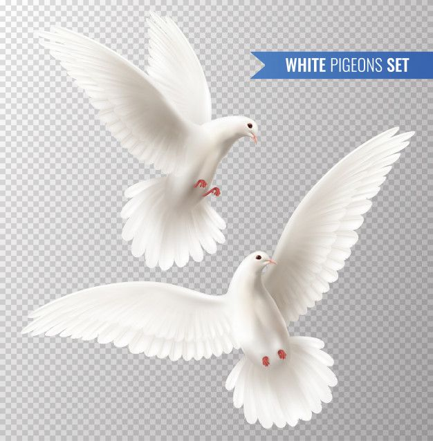Download White Pigeons Set For Free White Pigeon White Doves Dove Images White pigeon hd wallpaper download