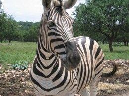 cute zebra!