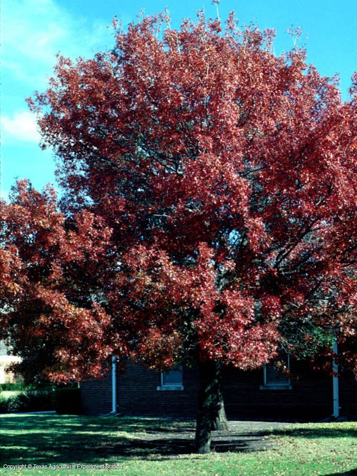 Best shade trees for dfw shumard red oak southwest