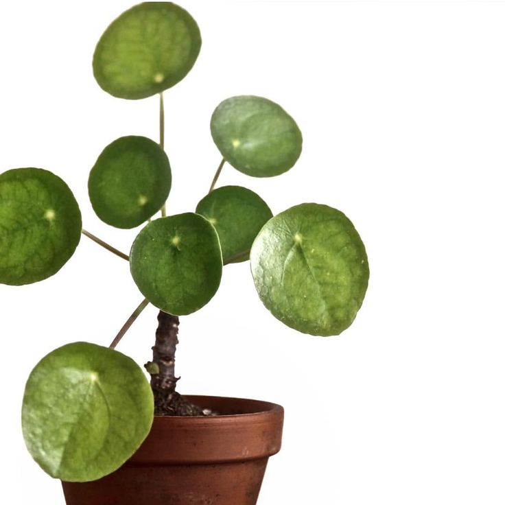 Just perfect pileapeperomioides pilea plant leaves