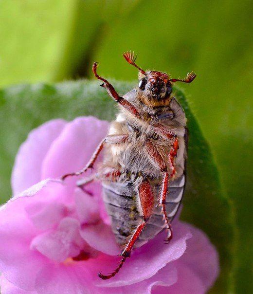 Майский жук передает всем привет!