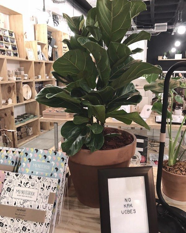 We have the most amazing Fiddle Leaf Fig plant available at our shop in Kloof Street. Plant by Nuno x stitch frame by Lalloon by Lo and cute notebooks by Fox and Heroine #PRESENTspace #alocalcollective