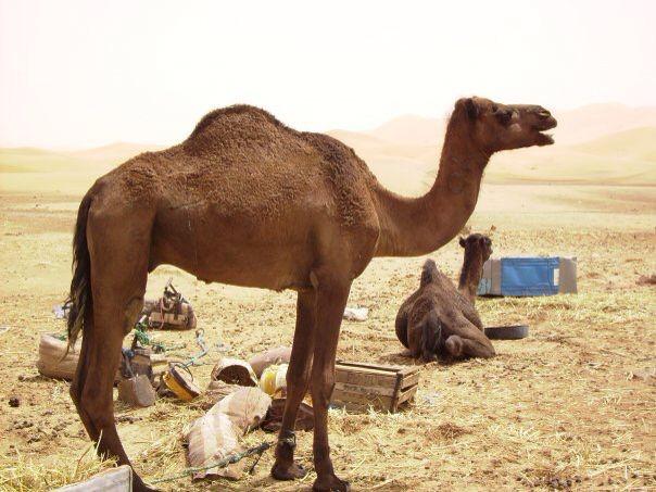 Sahara Desert resident, Morrocco