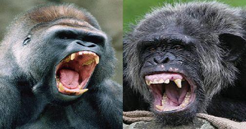 Chimpanzee vs Gorilla fights