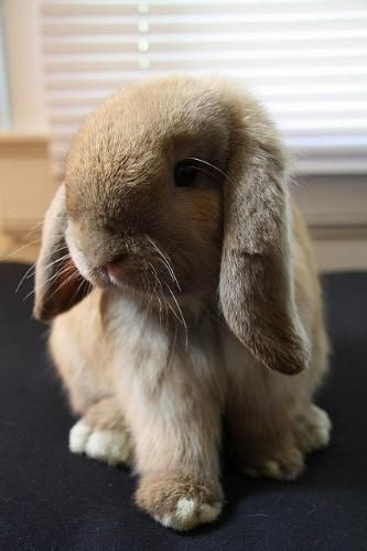 baby lop eared bunny - just too cute