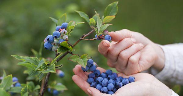 Så får du ett oändligt lager av blåbär hemma med 5 enkla steg