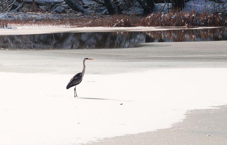 Grey heron by Denes Kiss on 500px