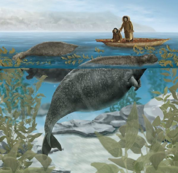Steller's Sea Cow-Extinct Animals That Science Could Bring Back From The de@d