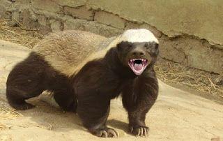 """""""O Grito do Bicho"""": Ratel, um dos animais mais destemidos do mundo"""