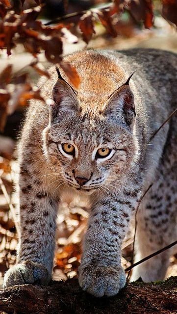 cat_leaves_lynx_autumn_59903_640x1136 | Flickr - Photo Sharing!
