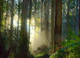 Image result for pictures of dandenong forest