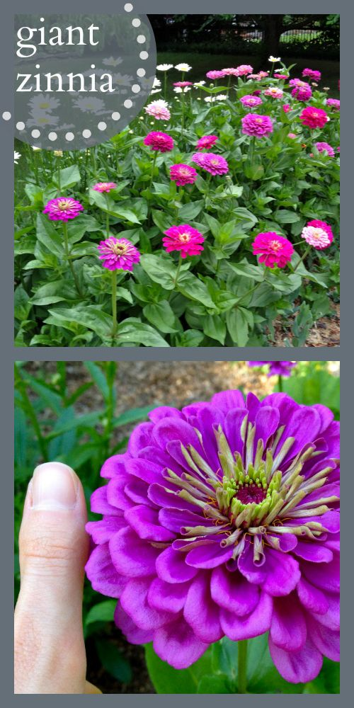 Benary giant zinnia... my favorite flower ever!!! Great for a cutting garden! So easy, and they bloom all season long!!