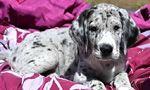 Meet the litter of Great Dane puppies born October 2nd, 2013 at the Service Dog Project.