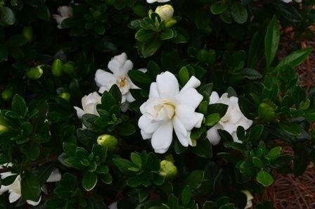 Lagerstroemia, Plant Introductions, Inc. Why Gardenia jasminoides?