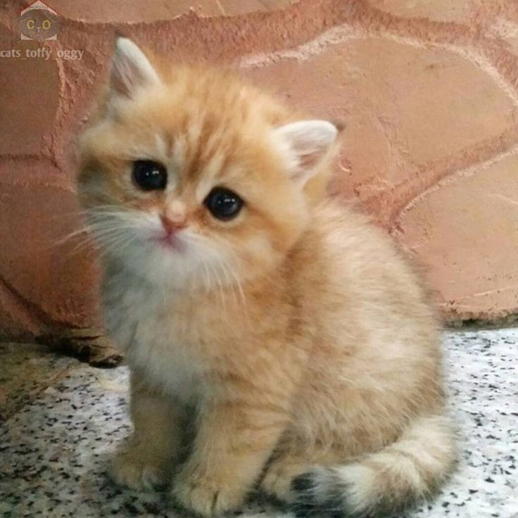 """Cutest kitty Photo by | @cats_toffy_oggy  #cat #cats #catsagram #toptags #catstagram #instagood #kitten #kitty #kittens #pet #pets #animal #animals…"""