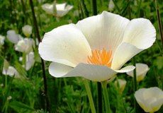 "California Poppy ""White Linen"" is another stunning variety that is as unusual as it is beautiful. An excellent self-seeder,"