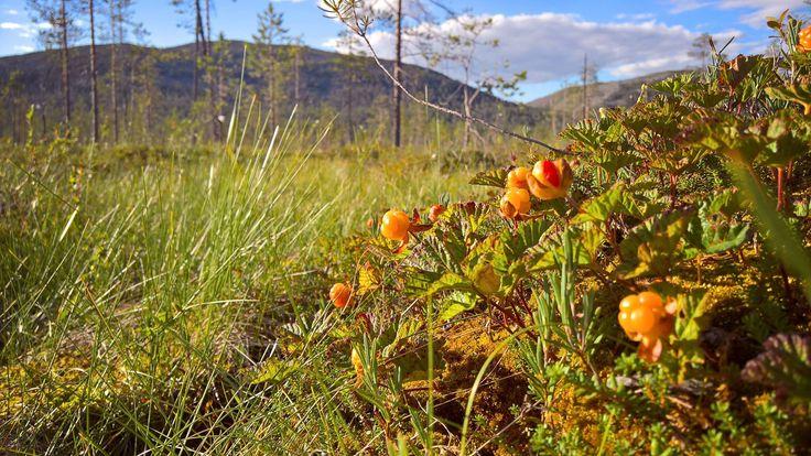 Pyhä-Luosto National Park, Finnish Lapland. Cloudberry season. Photo by Anna Pakkanen https://www.facebook.com/PyhaLuostoNationalPark/photos/a.118543254838475.17535.113149962044471/1448759351816852/?type=3&theater