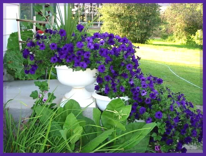 Wave petunias green thumb pinterest - Wave petunias in containers ...