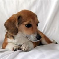 Pembroke Welsh Corgi Beagle Mix