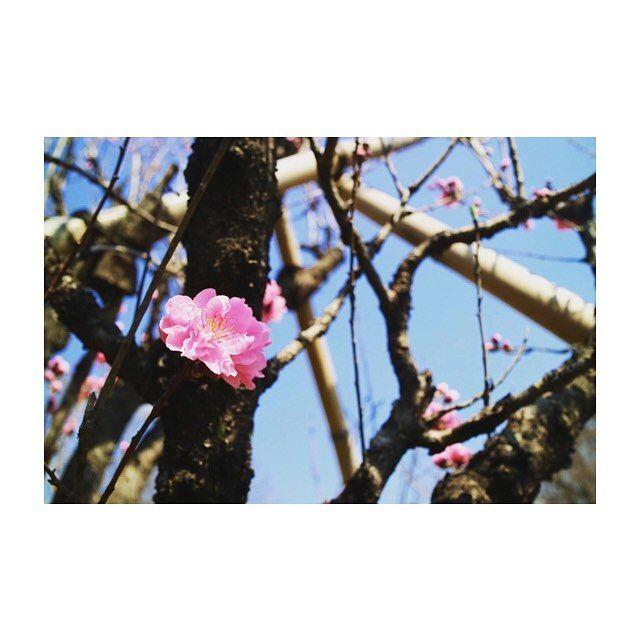 暖かくなってきて、近所の桜も一気に咲き始めました❣ これは桜かな?梅かな?☺ . . #新作コスメ #朝活 #DIY #フォロー #女子会 #在宅ワーク #followme #節約 #アパレル #貧乏 #お小遣い #歯科衛生士 #ポケモン #カメラ女子 #ゴープロ #ディズニー #ユニクロ #海外旅行 #セルフネイル #カフェ #一人暮らし #春服 #20代 #23歳 #介護士 #ノマド #新社会人 #新生活 #ブックメーカー #花見