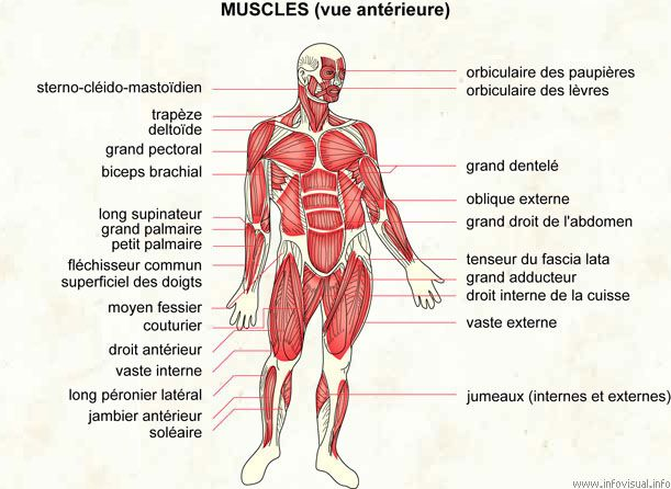 19 best muscles by sereni images on pinterest | muscles, anatomy, Muscles