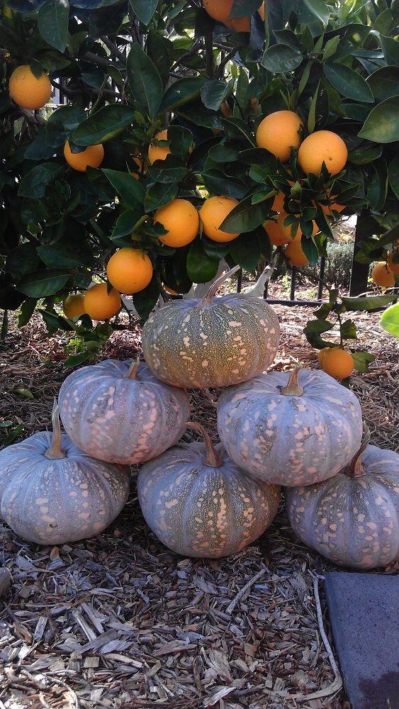 Nice harvest of pumpkins to last the winter