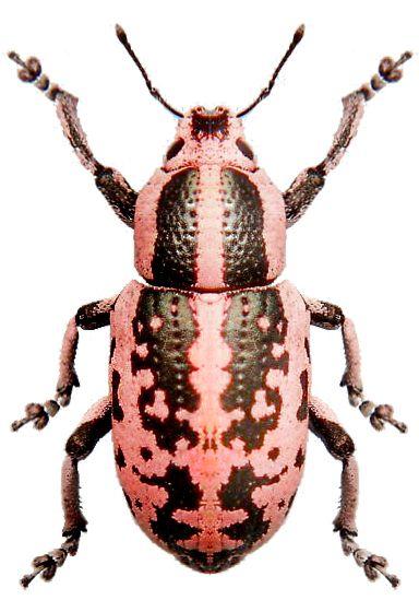 Aegorhinus vitulus                                                                                                                                                                                 More