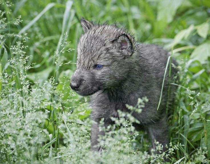 Husky Wolf Mix Pinterest'te   Husky, Sibirya Husky ve Husky Mix ...