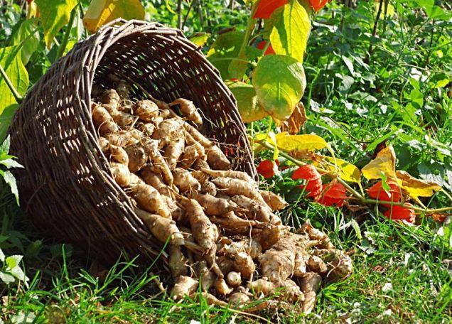 Mrazuvzdorná zelenina - příroda se o nás pěkně stará i uprostřed zimy, některé druhy přežijí i třicetistupňové mrazy...