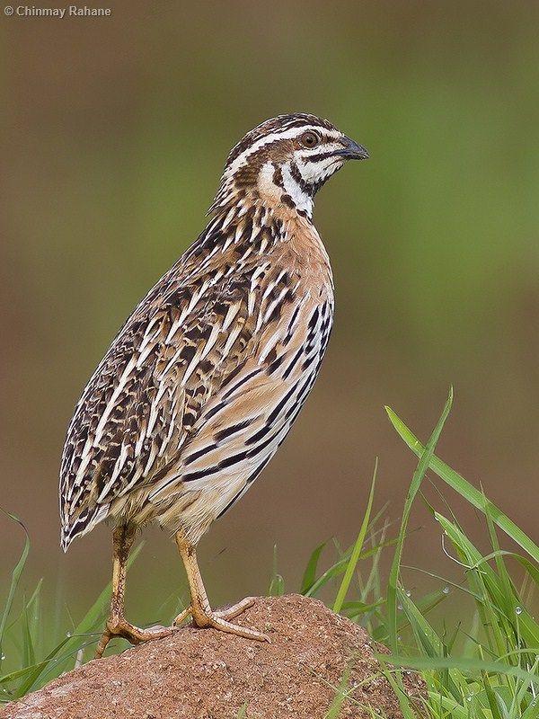 Marathi Bird Names Bird Birds Animals