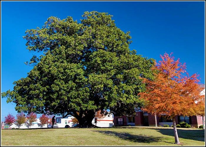 Southern Magnolia - Largest magnolia tree in Arkansas ...