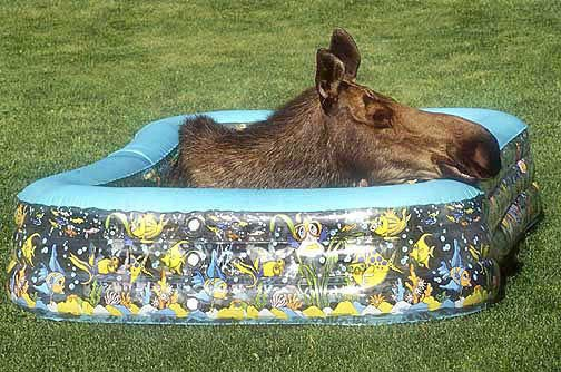 A moose finds summertime relief in an Anchorage yard.  Photo by Bob Hallinen.