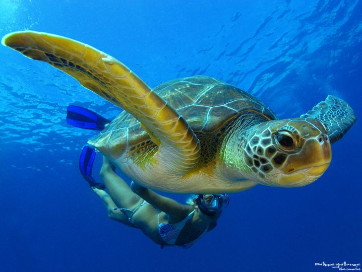 Photo by Philippe Guillaume: Favorite Places, Animal Photography, Canary Islands, Green Turtles, Places I D,  Loggerhead Turtle, Loggerhead Turtles,  Caretta Caretta, Sea Turtles