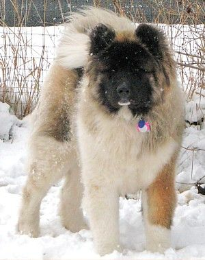Another Wooly: Akita Dog, Adorable Animals, Long Coat Akita, Akita S, Longcoated Akitas, Fur Babies
