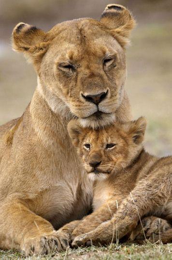 A mamãe leoa está criando seus três filhotes em uma área de conservação Ndutu, na Tanzânia