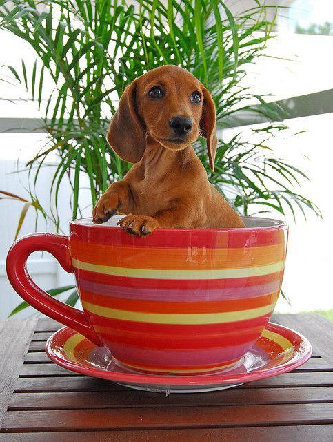 Dachshund puppy in a great big tea cup - cute!