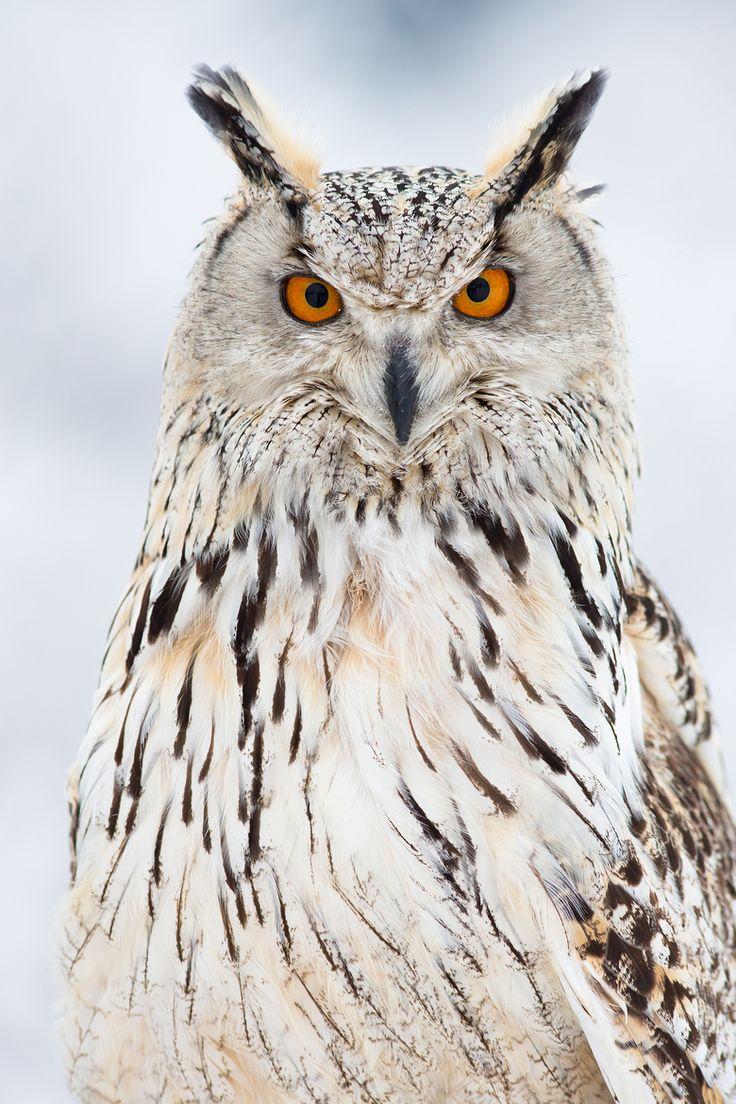 Aninimal Book: Best 25+ Eurasian eagle owl ideas on Pinterest | Owls ...