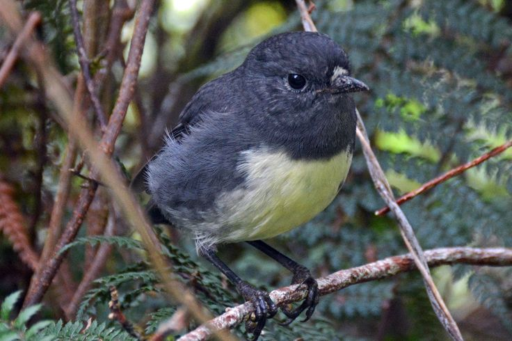 Paul Scopa sent us this great shot of a New Zealand bush robbin (or black robbin). Paul walked the world famous Milford Track as part of his 'Manuka' trip on New Zealand's South Island in March.   #adventuretravel #activeadventures #newzealand #hiking #photography #milfordsound #fiordland #milfordtrack