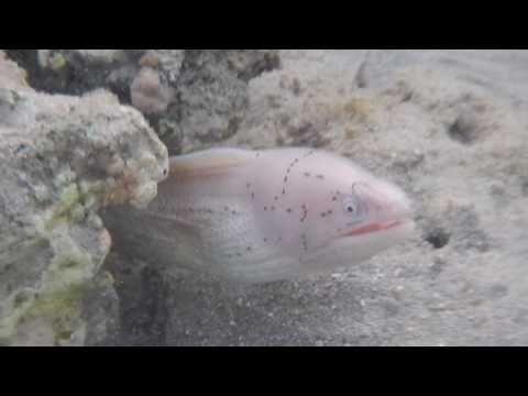 красное море обитатели, мурена перечная,  Gymnothorax griseus