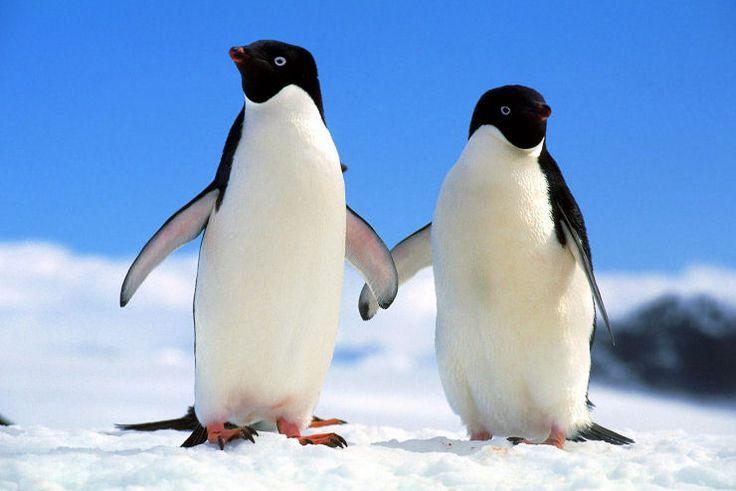 Pinguim-de-Adélia (Pygoscelis adeliae)