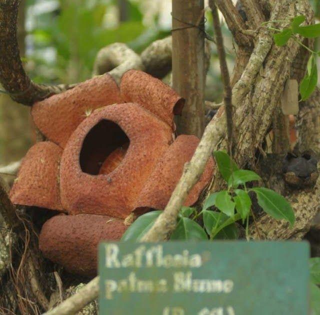 Gambar Bunga Raflesia Dan Penjelasannya Foto Melihat Rafflesia Patma Yang Langka Tumbuh Mekar Di Kebun 5 Fakta Rafflesia Arnold Di 2020 Bunga Gambar Wallpaper Bunga