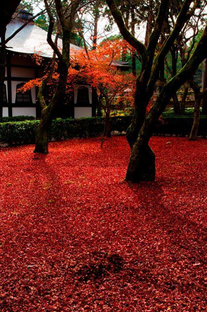 Autumn leaves carpet at Konkai Komyo-ji temple, Kyoto, Japan 金戒光明寺 京都
