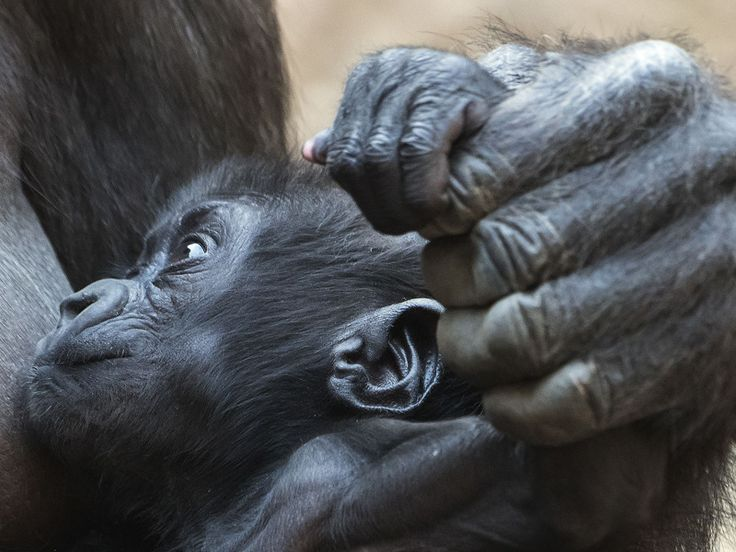 """Environment News: BERLIN: The Leipzig Zoo says a baby gorilla born in December is a boy and has been named Kio, meaning """"the Strong."""