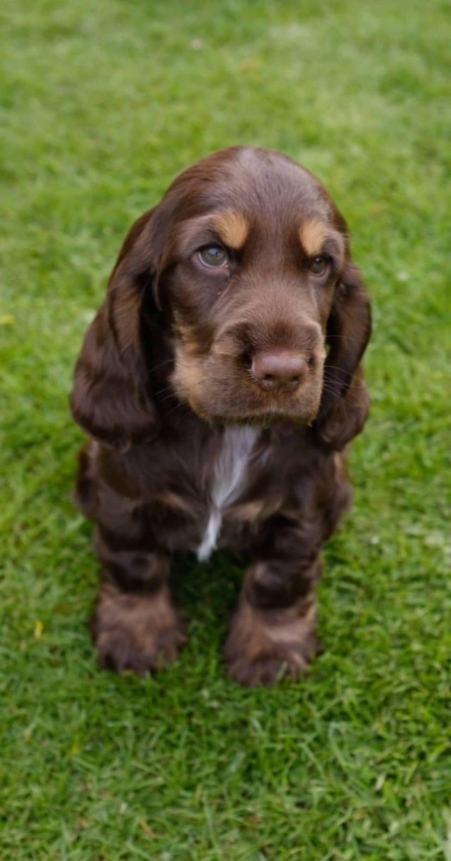 12 Of The Worst Things About Having A Cocker Spaniel Pets Dogs Breeds Cocker Spaniel Cocker Spaniel Dog