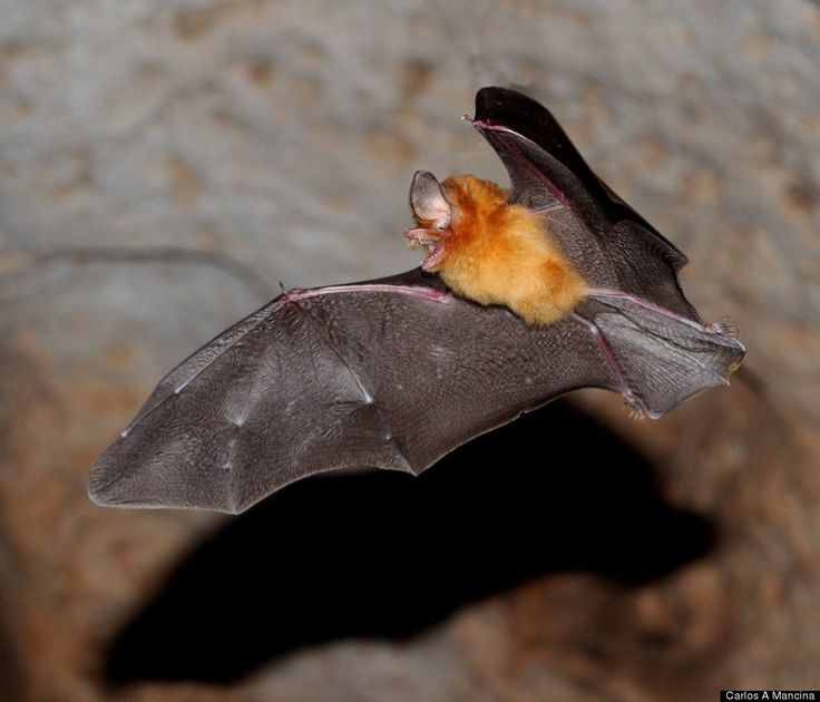 Scientific Name: Natalus primus   Common Name: Cuban Greater Funnel Eared Bat   Category: Bat   Population: < 100 individuals (est 2005)   Threats To Survival: Habitat loss and human disturbance