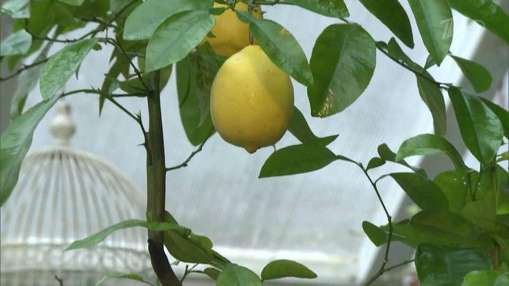 Как в домашних условиях не только вырастить лимонное дерево, но и добиться того, чтобы оно приносило плоды, рассказывает ландшафтный дизайнер Ольга Платонова