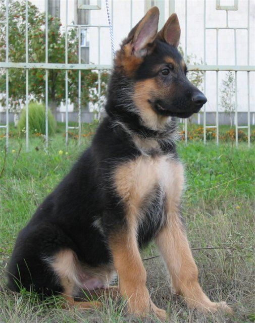 собаки немецкая овчарка: 26 тыс изображений найдено в Яндекс.Картинках