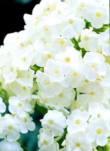 David Phlox: Fragrant, white flowering perennial. One clump in the side yard near the deck.