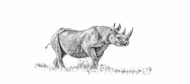 BW panoramic print of a rare desert black rhino